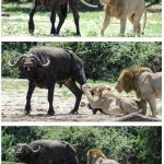 Lav jebač